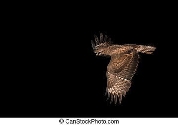 common buzzard Buteo isolated on black