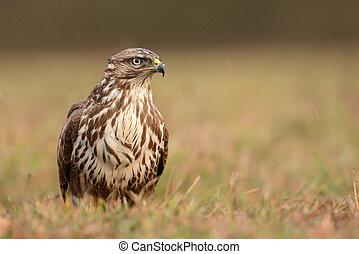 common buzzard - Common buzzard (Buteo buteo)