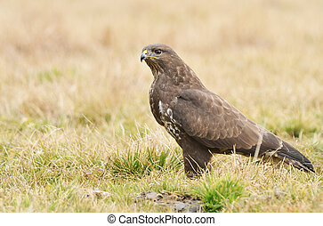 common buzzard - Common buzzard