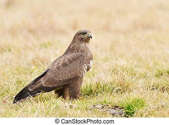 common buzzard - Common buzzard