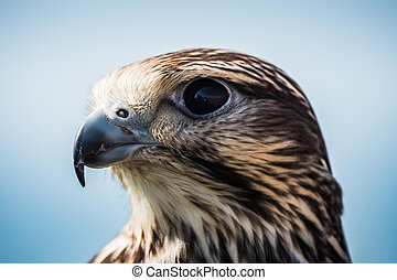 Common Buzzard Head Close-Up Portrait of the Head, an Intermediate Adult of the Species Buteo Buteo