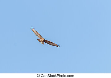 Common Buzzard in Flight (Buteo buteo) Blue Sky