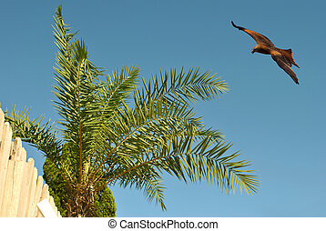 Common buzzard in flight over a palm tree in Spain