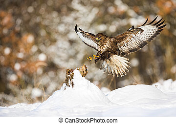 Common buzzard landing on a tree stump covered with snow in winter