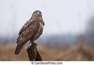 Common buzzard on the branch