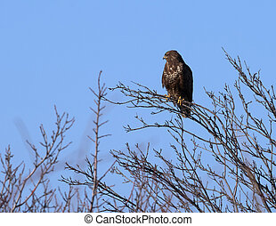 Common buzzard perched on a tree
