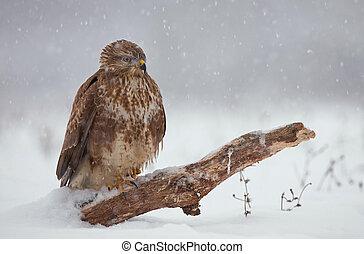 Common buzzard - Photo of common buzzard in winter