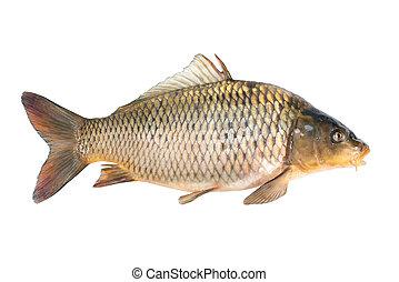 Common carp fish isolated on white background
