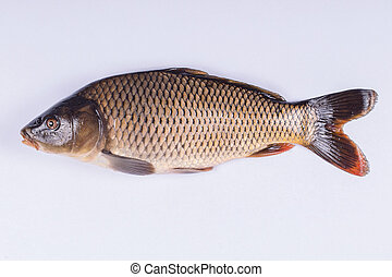 Common carp fish on white background