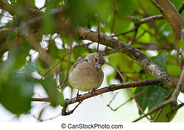 Common Chaffinch passerine bird perching on a tree looking...
