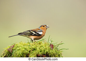 Common Chaffinch perched on a mossy tree trunk
