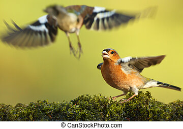 Common chaffinch with wings spread open fighting for the territory