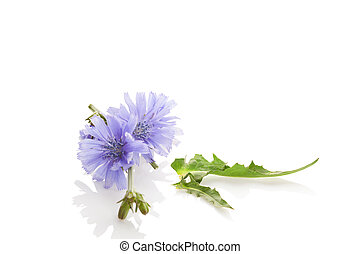 Common chicory flowers. - Cichorium intybus - common chicory...