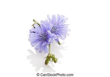 Common chicory flowers. - Cichorium intybus - common chicory...