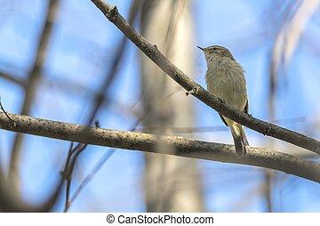 common chiff chaff bird, phylloscopus collybita