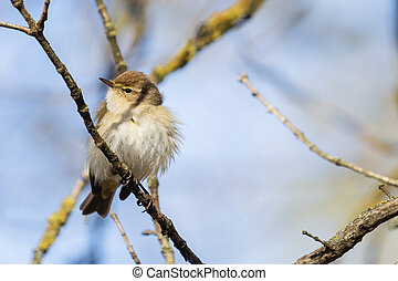 common chiffchaff sitting on a branch in the forest
