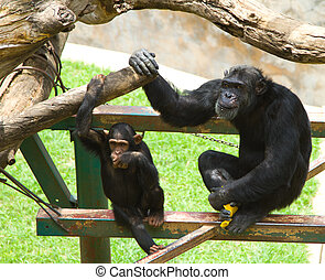 Common chimpanzee, Pan troglodytes, dad and son sitting on structure in zoo