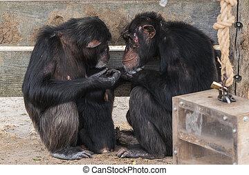 Common chimpanzee with a baby chimpanzee and an old one