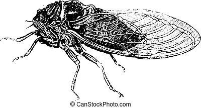 Common cicada, vintage engraving.