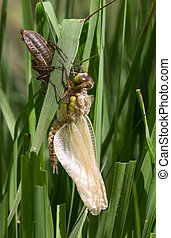 Common Clubtail Emerging Dragonfly