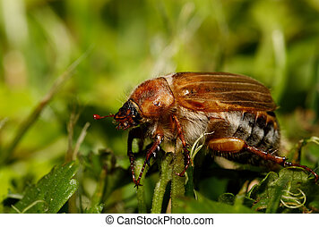 Common Cockchafer (Melolontha melolontha), known as a May...