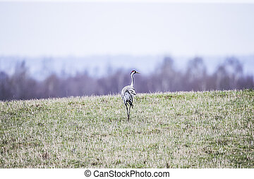 Common crane Grus grus walking near the lake in autumn alone