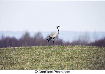 Common crane Grus grus walking near the lake in autumn