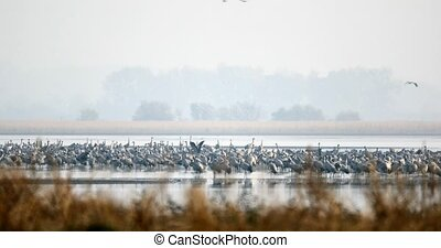 Common Crane migration in the Hortobagy.