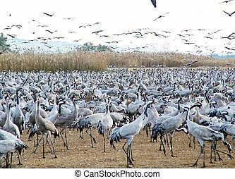 Common Cranes at Hula Valley Nature Reserve in Israel