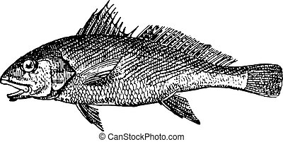 Common Croaker, vintage engraving.