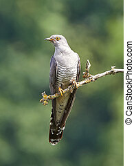 Common Cuckoo resting on a branch in its natural habitat