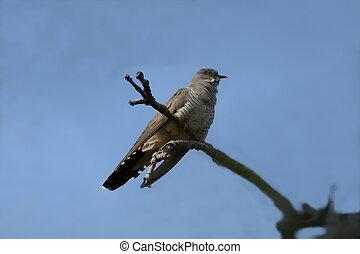Common Cuckoo Cuculus canorus ( European Cuckoo)