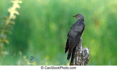 Common Cuckoo (Cuculus canorus)  flies out of frame