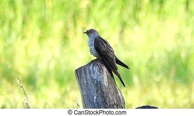 Common Cuckoo (Cuculus canorus)