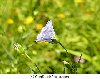 common cultivates flax, medicinal herb with flower in summer