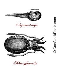 common cuttlefish and argonauta argo