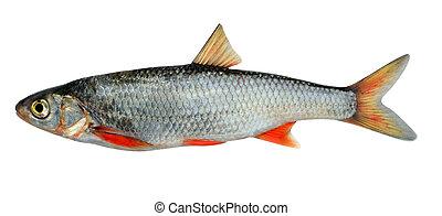 Common dace. Siberian subspecies (Leuciscus leuciscus ...