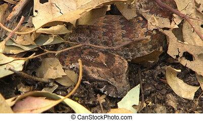 Common Death Adder Snake Sleeping Under Leaves - Steady,...