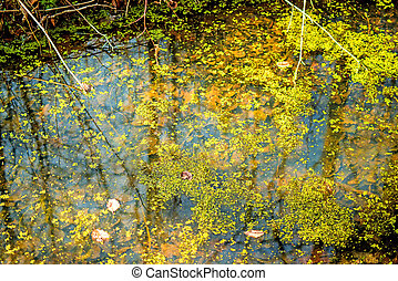 common duckweed on the surface of a pond