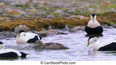 Common eider mating at the arctic sea - Common eider mating...