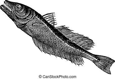 Common European hake (Merluccius vulgaris), vintage engraving