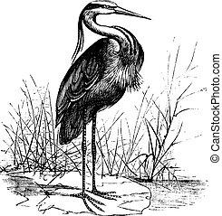 Common European heron (Ardea cinerea) or Grey heron vintage engraving