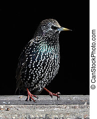 Common European Starling