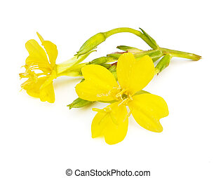 Evening Primrose - Common Evening Primrose (Oenothera ...