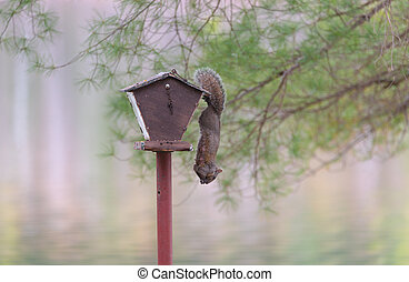 Common female Grey squirrel hanging from a bird feeder, calm lake water backdrop.