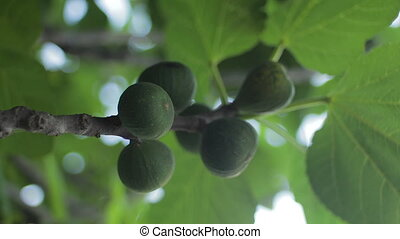 Common fig . Ficus carica .Ripe and green organic figs on a fig tree.Wind blows through the leaves.Selective focus on the fruit in the foreground.Real time.