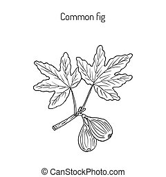 Common fig, vector illustration