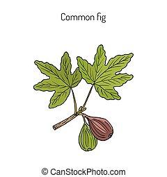 Common fig, vector illustration