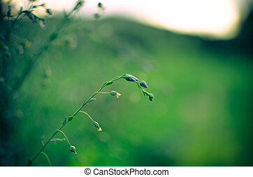Common Flax Linum usatissimu Flowers - and buds - seeds - ...