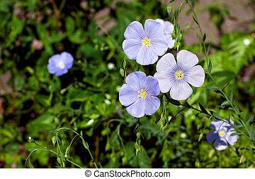 Linum usitatissimum flowers - common flax - Linum ...